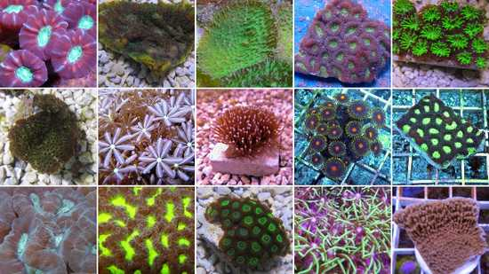 Australia Coral Frags - Assorted Hard Corals 8 pack