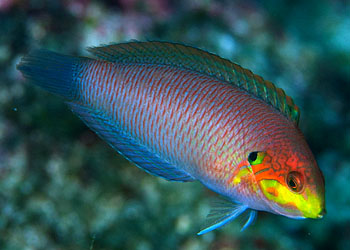 Moyer's Leopard Wrasse - Limit 1 Super Special
