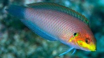 Moyer's Leopard Wrasse - Limit 1 - Super Special SAVE 32%