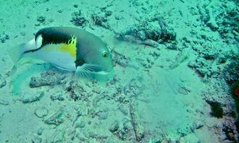 Orange Spotted Tuskfish