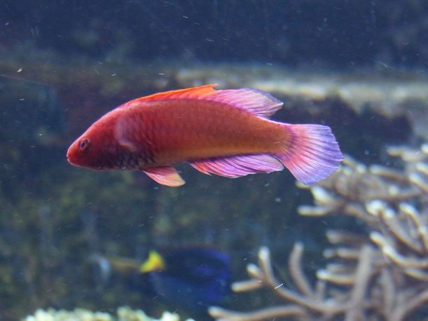 Rosy Scales Fairy Wrasse