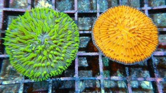 Fungia Coral: Metallic Green - Australia - Limit 1 Super Special