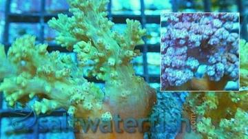 Silk Coral - Red / Orange - Super Special