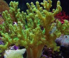 Rasta Leather Coral: Green - Australia