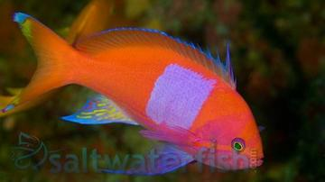 Pink Square Anthias - Male