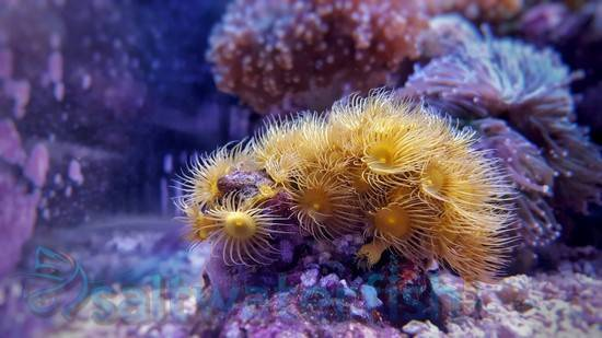 Yellow Polyp - Super Special