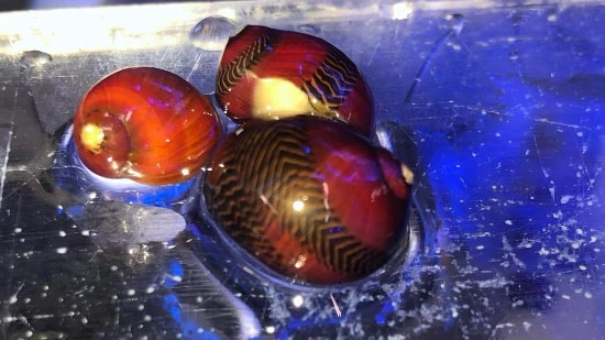 Nerite Snail - Red