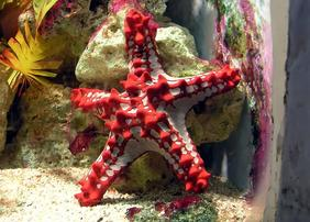 African Starfish - Red