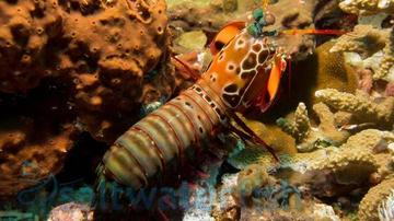 Mantis Shrimp: Peacock