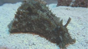 Dolabella Sea Hare - Black Friday Now Save 35% OFF!