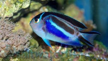 Bellus Angelfish: Female
