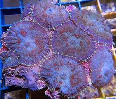 Bullseye Mushroom Coral: Purple and Green