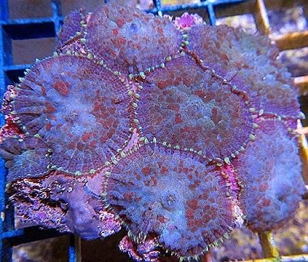 Bullseye Mushroom Coral: Neon Green