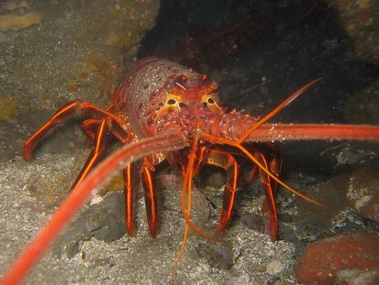 Orange Spiny Lobster