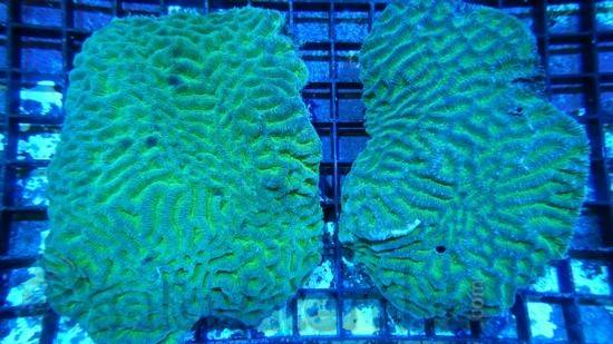 Platygyra Brain Coral Worm Scribble