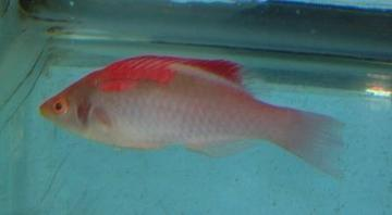 Red Fin Fairy Wrasse - Super Special