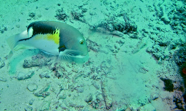 Orange Spotted Tuskfish