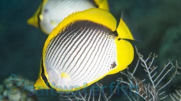 Blackback Butterfly
