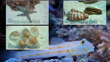 Sand Sifting Crew + Diamond Goby