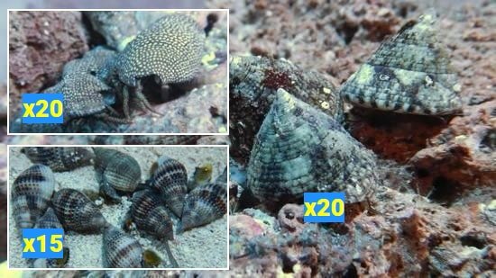 Featured Clean Up Crew 20 Tiger Turbo Snails, 20 Red Leg Reef Hermits,15 Large Nassarius Snails