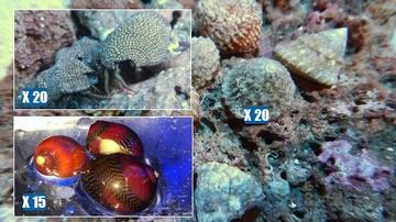 Featured Clean Up Crew 20 Astrea Turbo Snail, 20 Red Leg Reef Hermit Crabs, 15 Red Nerite Snails