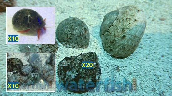 Featured Clean Up Crew 20 Tropical Turbo Snails, 10 Neon Orange Hermit Crabs, 10 Nassarius Snails Large