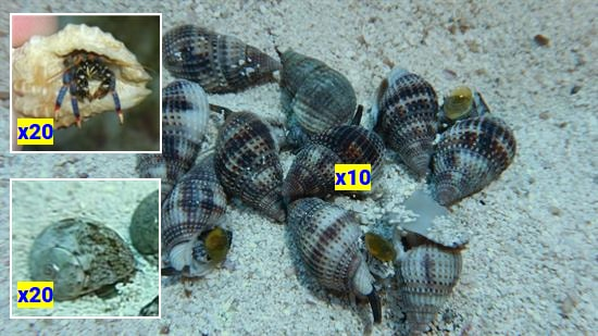 Featured Clean Up Crew 20 Tropical Turbo Snails, 20 Blue Leg Reef Hermits, 10 Nassarius Snails Large