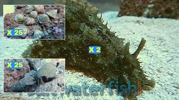 Featured Clean Up Crew 25 Astrea Turbo Snails, 25 Red Leg Reef Hermit Crabs, 2 Dolabella Sea Hare