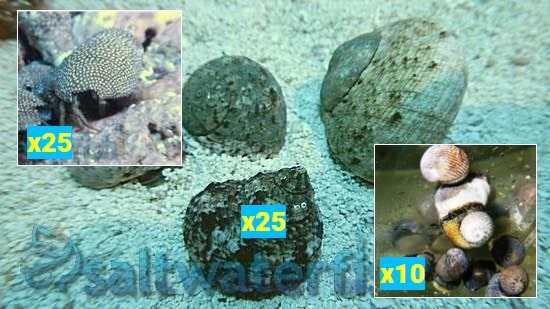 Featured Clean Up Crew 25 Tropical Turbo Snails, 25 Red Leg Reef Hermit Crabs, 10 Nerite Snails