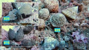 Featured Clean Up Crew 25 Turbo Astrea Snails, 25 Red Leg Hermit Crabs, 15 Cerith Snails