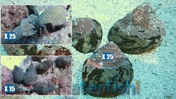 Featured Clean Up Crew 25 Zebra Stripe Turbo Snails, 25 Red Leg Reef Hermit Crabs, 15 Cerith Snails