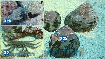 Featured Clean Up Crew 25 Zebra Stripe Turbo Snails, 25 Red Leg Reef Hermit Crabs, 2 Sally Lightfoot Crabs