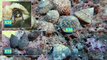 Featured Clean Up Crew 30 Astrea Turbo Snails, 30 Blue Leg Reef Hermit Crabs, 15 Cerith Snails