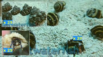 Featured Clean Up Crew 25 Mexican Turbo Snails, 25 Blue Leg Reef Hermit Crabs Large, 20 Bumble Bee Snails