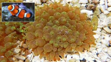 Bubble Tip Anemone Snowflake Acid Wash with Ocellaris Clownfish