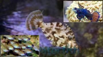 Featured Fish Super Pack 1 Aiptasia Eating Filefish, 1 Green Mandarin Goby, 1 Glass Cardinal