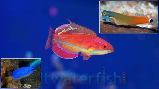 Featured Fish Super Pack 1 McCosker Flasher Wrasse, 1 Tailspot Blenny, 1 Electric Blue Damsel