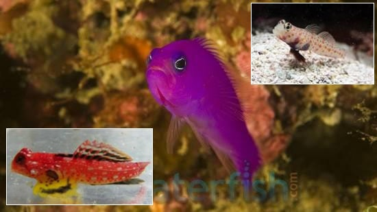 Featured Fish Super Pack 1 Orange Spotted Goby, 1 Purple Pseudochromis, 1 Ruby Red Dragonette