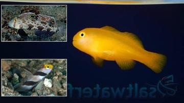 Featured Fish Super Pack 1 Yellow Rose Goby, 1 Twinspot Goby, 1 Yellow Clown Goby