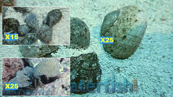 Featured Clean Up Crew 25 Tropical Turbo Snails, 25 Red Leg Reef Hermit Crabs, 15 Nassarius Snails Large