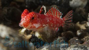 Scooter Blenny - Red