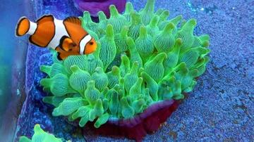 Bubble Tip Anemone Purple Base with Ocellaris Clownfish