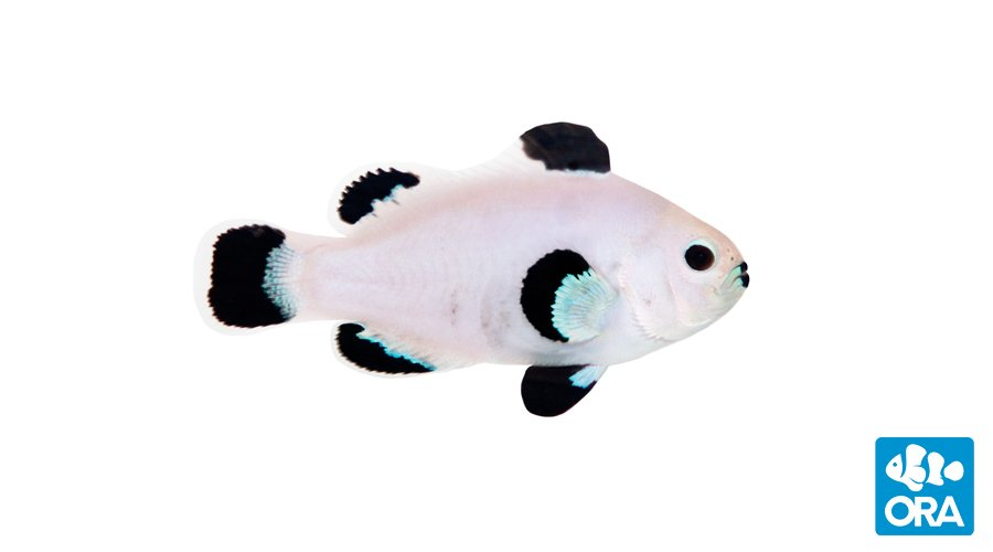 Ice Storm Clownfish - Captive Bred