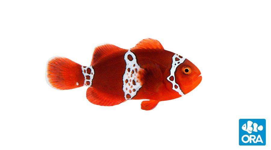 Thunder Maroon Clownfish - Captive Bred