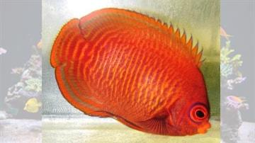 Golden Angelfish - Super Special