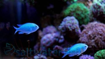 Green Chromis - Super Special Limit 3