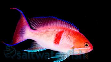 Redbelted Anthias