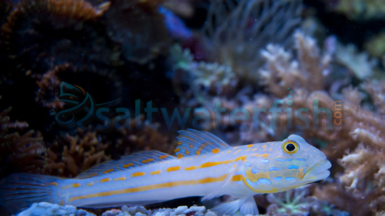 Diamond goby for Acclimating saltwater fish