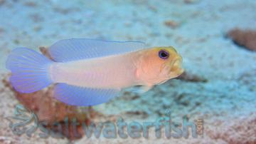 Pearly Jawfish- Super Special