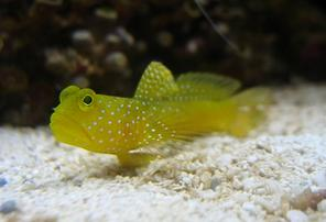 Yellow Watchman Goby & Tiger Pistol Shrimp DUO
